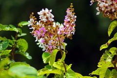 Blüte tabaek Lizenzfreies Stockfoto