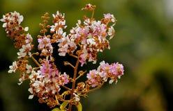 Blüte tabaek Stockfotografie