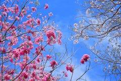 Blüte in Thailand Lizenzfreies Stockfoto