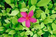 Blüte unter Teeblättern Stockfotos