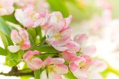 Blüte vom Holzapfelbaum im Frühjahr Stockfotografie