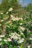 Blüte von Aronia-melanocarpa lizenzfreie stockbilder