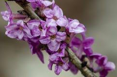 Blüte von Februar Daphne auf unscharfem Hintergrund lizenzfreie stockfotos