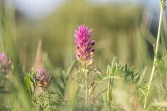 Blüte von Feldkuhweizen Melampyrum-arvense Lizenzfreies Stockfoto