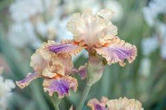 Blüte von Iris Carnival der Farbe Lizenzfreie Stockbilder