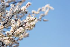 Blüte von Obstbäumen schließt im Frühjahr oben gegen den blauen Himmel lizenzfreie stockbilder