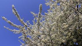 Blüte weißer Cherry With Clear Blue Sky bunt vom Frühling stockbild