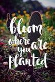 Blüte, wo Sie gepflanztes handgeschriebenes Zitat sind Lizenzfreie Stockbilder