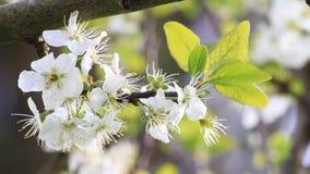 Blüten auf Kirschbaum stock video