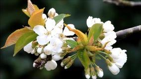 Blüten auf Kirschbaum im Frühjahr stock footage