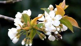 Blüten auf Kirschbaum im Frühjahr stock video