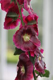 Blüten auf Rebe Stockfotografie