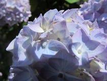 Blüten der Hortensie - Blau lizenzfreie stockfotos