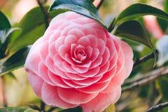 Blüten der rosa Kamelie Stockbilder