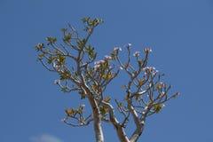 Blüten der Wüstenrose (Adenium obesum) Lizenzfreie Stockfotos