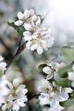 Blüten der weißen Blume der Blendung mit rosa ungeöffnetem Stockbild