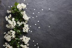 Blüten der weißen Blume des Frühsommers stockbild