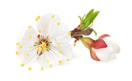 Blüten der weißen Blumen lokalisiert auf weißem Hintergrund Gelbe Kornelkirsche-Blume stockbilder