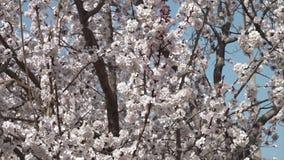 Blüten, die im Wind in Usbekistan rascheln stock video footage
