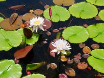 Blüten-Lotosteich der weißen Doppelmischung purpurroter stockfoto