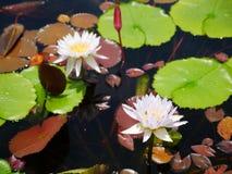 Blüten-Lotosteich der weißen Doppelmischung purpurroter stockbild