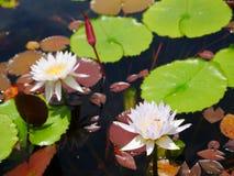 Blüten-Lotosteich der weißen Doppelmischung purpurroter lizenzfreies stockbild