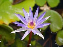 Blüten-Lotosteich der weißen Mischung purpurroter mit bokeh stockbilder