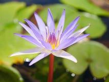 Blüten-Lotosteich der weißen Mischung purpurroter mit bokeh lizenzfreie stockbilder