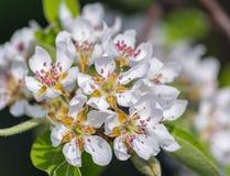 Blüten von einem Apfelbaum Lizenzfreies Stockfoto