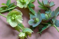 Blüten von Hellebores nachdem dem Blühen lizenzfreie stockfotografie