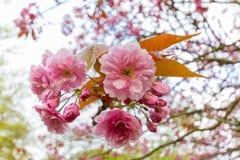 Blüten von Nahaufnahme Kwanzan Cherry Tree, Jesmond Dene, Newcastl stockfoto