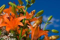 Blüten von orange liles, Stockbild