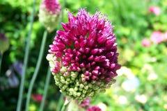 Blütenabschluß der purpurroten violetten wilden Schnittlauche bullbous Betriebsoben stockfoto