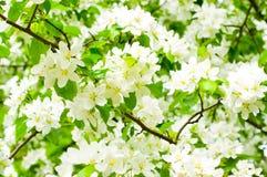 BlütenApfelbaum Lizenzfreie Stockfotos