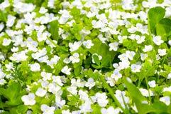 BlütenApfelbaum Stockfoto