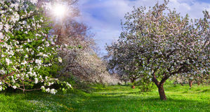 Blütenapfelgarten stockbilder