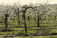 Blütenapfelobstgärten Lizenzfreies Stockfoto
