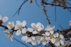 Blütenaprikosenblume Stockfoto