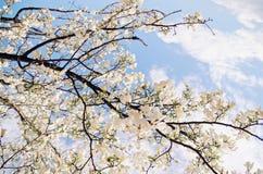 Blütenbaum über Naturhintergrund Stockfotografie