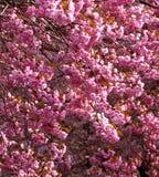Blütenbaum Stockfoto