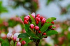 Blütenbaum in Naturhintergrund Frühling blüht Frühlings-Hintergrund Stockfotografie