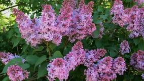 Blütenbaumast der Flieder, hellpurpurne Farbe Seine Blumen, die im Wind schwingen stock footage