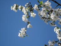 Blütenblüte der Kirsche am Frühling Weiße Kirschblüte-Blumen auf Himmelhintergrund Stockfoto