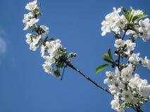 Blütenblüte der Kirsche am Frühling Weiße Kirschblüte-Blumen auf Himmelhintergrund Stockbild