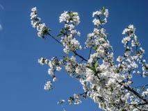 Blütenblüte der Kirsche am Frühling Weiße Kirschblüte-Blumen auf Himmelhintergrund Lizenzfreie Stockfotografie