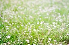 Blütenblume in der Rasenfläche im Frühjahr Stockfotografie