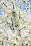Blütenblumen des Kirschbaums im Frühjahr Stockbild