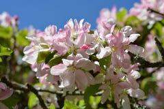 Blütenfrühlings-Kirschblüte Stockfoto