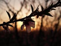 Blütenhintersonnenuntergang Lizenzfreies Stockfoto