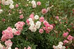 Blütenhundrose Stockfoto